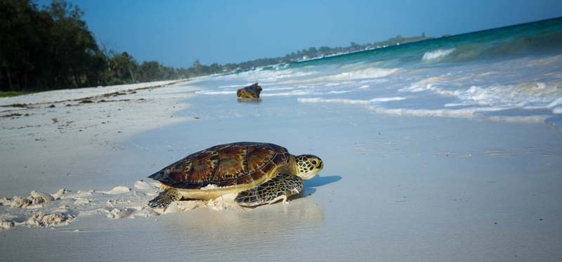 turtle going back to the ocean